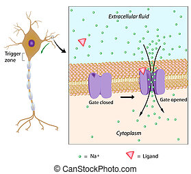 Events at the plasma membrane of a neuron when stimulated by a chemical