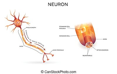 Neuron and myelin sheath - Close up of nerve cell and myelin...