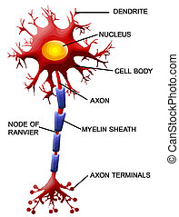 Neuron cell - Structure of a motor neuron, vector...