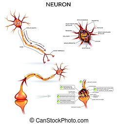 Neuron detailed anatomy - Neuron, nerve cell, close up...