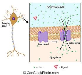 neuron, en, alhier, potentieel, eps10