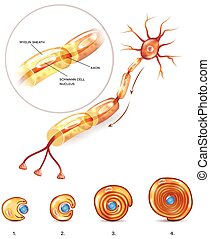 Neuron myelin sheath - Neuron anatomy 3d illustration close...