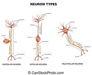 Neuron types