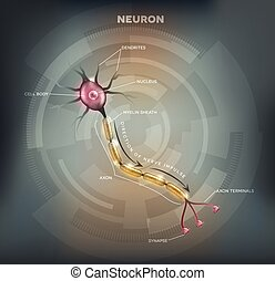 Neuron - Labeled diagram of the Neuron, nerve cell that is...