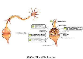 Neurons and closeup of synapse detailed anatomy, beautiful...