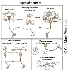neurons, tipos