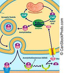 neurotransmitter., acetylcholine, illustration., etiquetado, vetorial, esquema