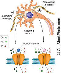 Neurotransmitters acting on neuron