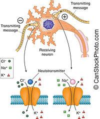 neurotransmitters, aktív, neuron