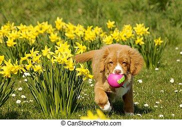 neuschottland, ente, toller, junger hund