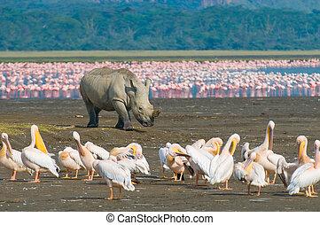 neushoorn, in, plas nakuru onderdaan parkeren, kenia