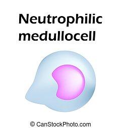 Neutrophils structure. Blood cell neutrophils. Medullocell. ...