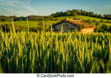 nevýznamný skladné, do, jeden, pšenice, sklidit