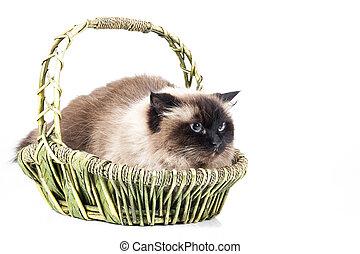 Neva Masquerade cat in a basket