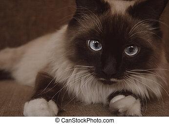 Neva Masquerade cat with blue eyes