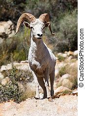 Desert Big Horn Ram Sheep