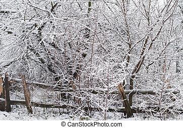 nevado, árvores nuas, em, um, denso, bosque