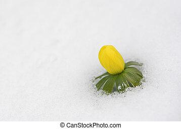 neve, aconite, inverno