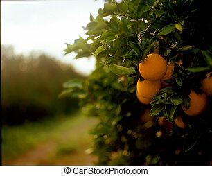 nevelig, morgen, op, de, oranjekleurige boomgaard