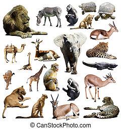nevezetességek, Más, állatok, afrikai, elefánt