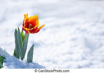 nevicata, snow., crescente, tulipano, primavera, atipico, ...