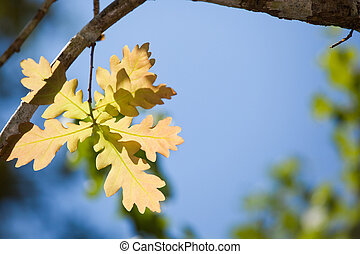 oak leaf in sunlight