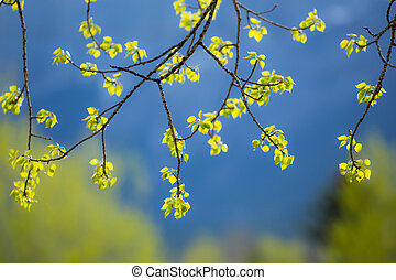 New aspen tree leaves - Fresh new leaves of an Aspen Poplar...