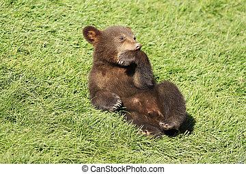 New baby brown bear cub