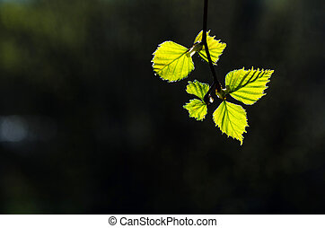 New birch leaves in back light