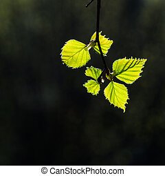New birch leaves portrait