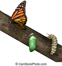 a monarch butterfly in differing stages of life from caterpillar to cacoon to butterfly