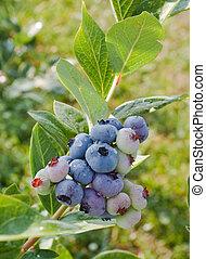 New Blueberries_0357 - Under ripe blueberries on the bush