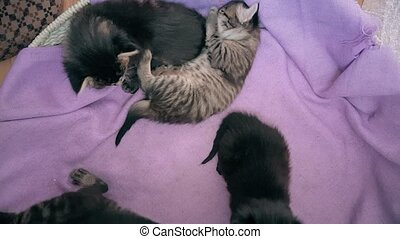 New born baby kittens playing together in a cat basket - Top...