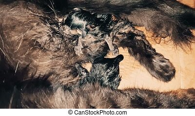 New born baby kittens sucking milk from their mother - Black...