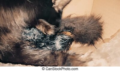 New born black baby kitten sucking milk from its mother -...