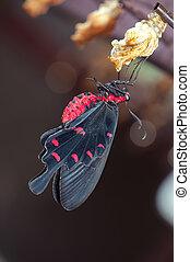 New born common rose butterfly (Pachliopta aristolochiae ...