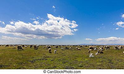 New Born Lamb and Sheep Spring