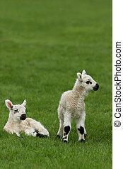 New Born Lambs