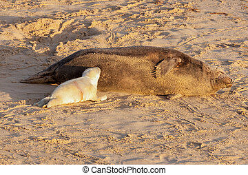 New born seal pup feeding from mother seal - New born seal...