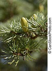 Pollen cones of Atlas cedar closeup