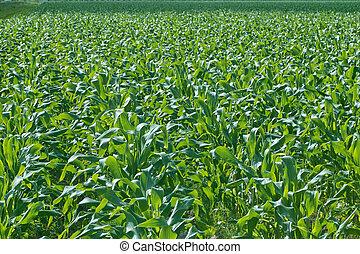 New Corn Field - A newly planted field of corn.