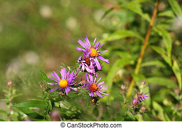 New England Aster Flower Aster novae angliae early fall