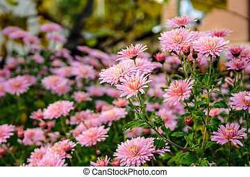 New England aster flowers in the garden oat sunrise - New...