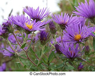 New England Asters - Closeup of clump of asters