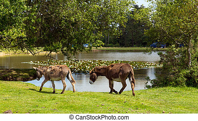 New Forest donkies by lake summer - New Forest donkies by a...