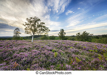 New Forest Heather - Heather in bloom in the New Forest