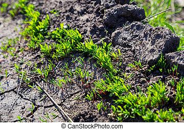new green grass sprouts on cracked soil