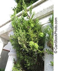 New green pine cones