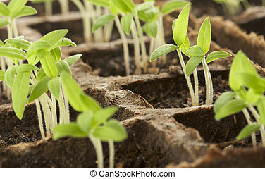Sprouting Plants - New Green Sprouting Plants in a Row