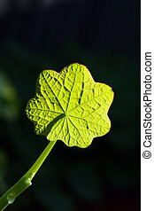 Green Leaf in the Sun